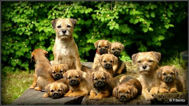 Border Terriers ❤️