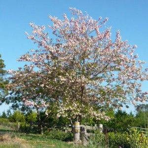 """Robinia x ambigua """"Decaisneana"""", Pink Robinia  Robinia Decaisneana is a very hardy, tough pink robinia tree that will perform well in a wide range of positions in the landscape. The rose-pink flowers provide an attractive late spring to early summer display, making it useful as a small to medium sized feature specimen.  Its lovely pink flowers provide a soft fragrance and are easily admired amongst the dark green foliage.  3-4ft tall in 8″ pots."""