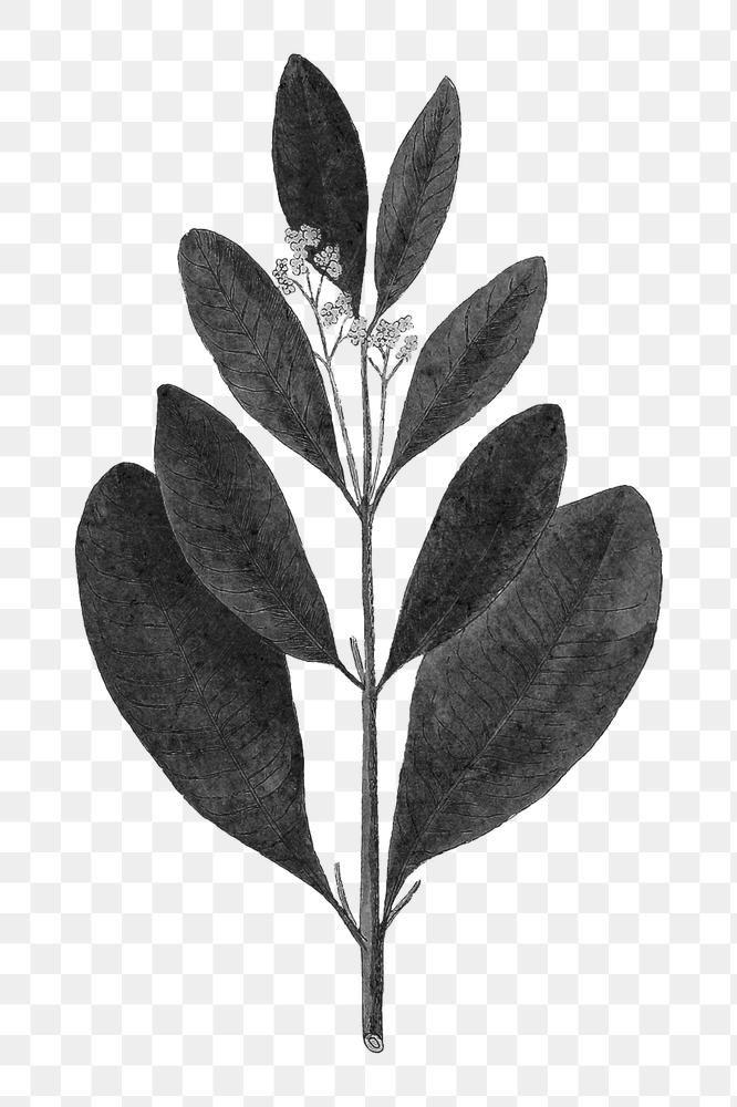 Download Premium Png Of Vintage Black Jamaica Pepper Leaf Png Illustration Plant Art Vintage Black Illustration
