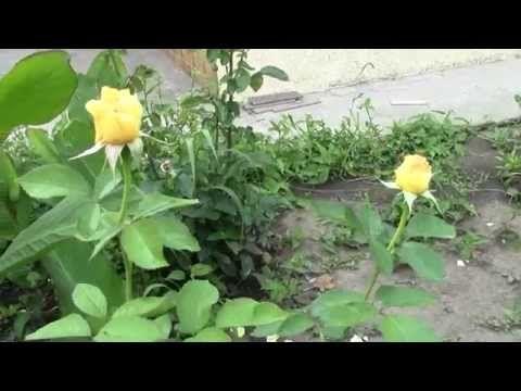 Мобильный LiveInternet ПОДКОРМКА ДЛЯ РОЗ: раскрываю секреты буйного цветения | галина5819 - Дневник галина5819 |