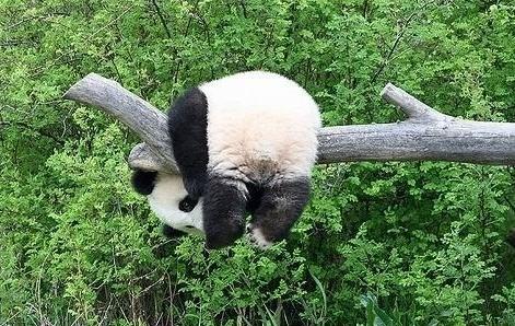 panda bear hanging