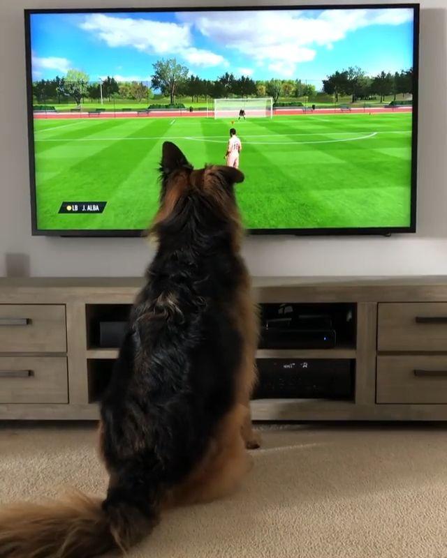 German Shepherd vs. ⚽️ on TV 