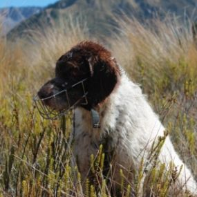 Meet Yuki, our specially trained DOC species dog and takahē tracker extraordinaire.