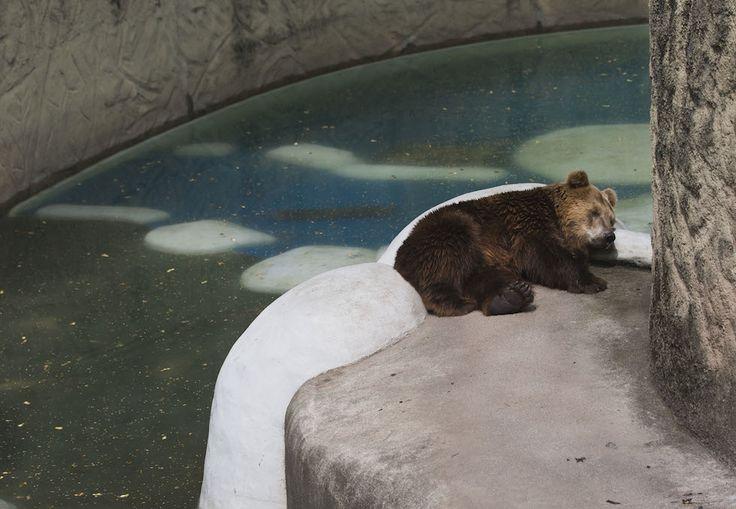 IlPost - L'orso Ze Comeia si riposa nel suo recinto allo zoo di Rio de Janeiro, in Brasile (AP Photo/Hassan Ammar) - L'orso Ze Comeia si riposa nel suo recinto allo zoo di Rio de Janeiro, in Brasile (AP Photo/Hassan Ammar)
