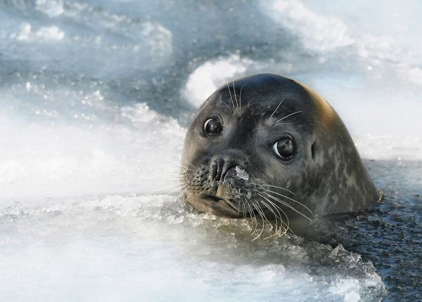 So cute!Seals, Painting Art, Winter Photography, Fish, Sea Lion, Landscapes Photography, Eye, Sealion, Animal