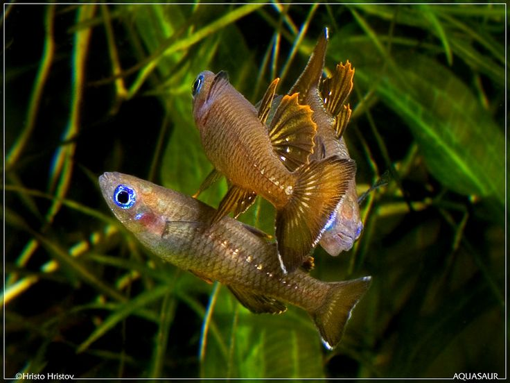 17 best images about rainbow fish goby fish on pinterest for Freshwater rainbow fish