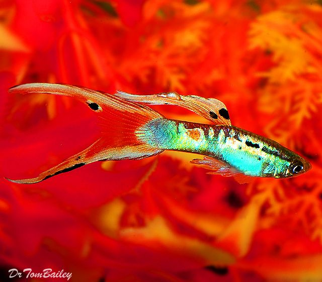 38 best guppy images on pinterest fish aquariums for How often do i feed my betta fish