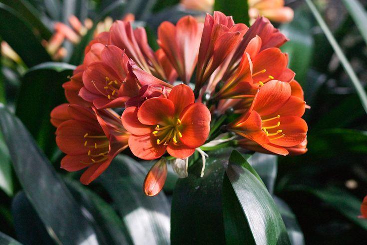 Clivia miniata, TC Bronze x Doomsday.  Colorado Clivia's plant number 616H.