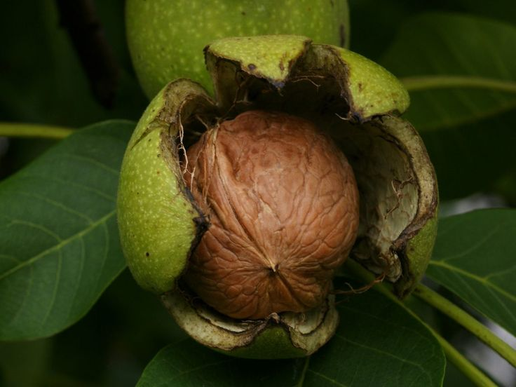 Dopřávejte si pravidelně vlašské ořechy a chraňte vaše srdce a cévy