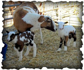 breeder - Silver City New Mexico | Painted Desert Sheep ...
