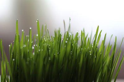 Weizengras bei Histamin-Intoleranz