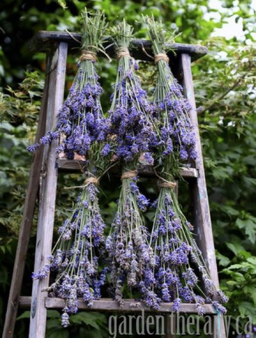 How To Harvest & Use Lavender....http://homestead-and-survival.com/how-to-harvest-use-lavender/