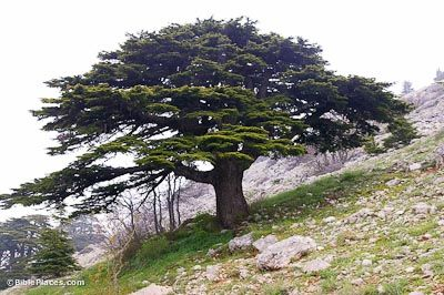 Cedar of Lebanon--Biblical Significance: Commonly referred to in Scripture as the cedars of Lebanon, this aromatic, durable wood was highly desirable for building in Iron Age Israel. David used it in building his palace and Solomon used it in the construction of the temple and a palace for himself. He was said to make the cedar as plentiful in Jerusalem as sycamore-fig trees in the Shephelah . The second temple was also constructed from cedars (Ezra 3:7).
