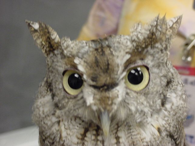 listen to owl sounds science pinterest spring so cute and owl. Black Bedroom Furniture Sets. Home Design Ideas
