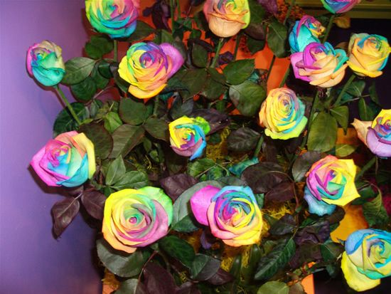 rainbow rose bush rainbow roses are for real roses