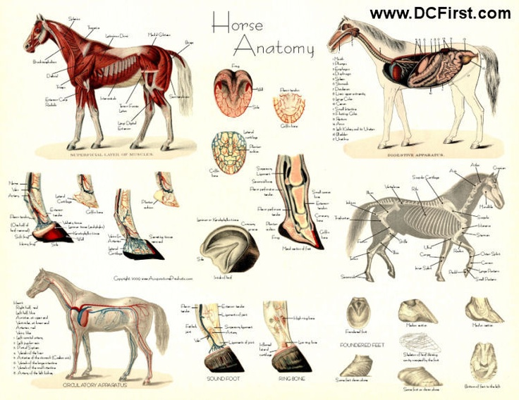 Horse anatomy posters; is it nerdy that I actually really want these?