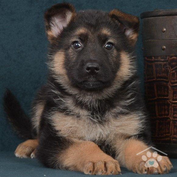 Meet Zeus A Stunning Purebred Male German Shepherd Puppy He Is