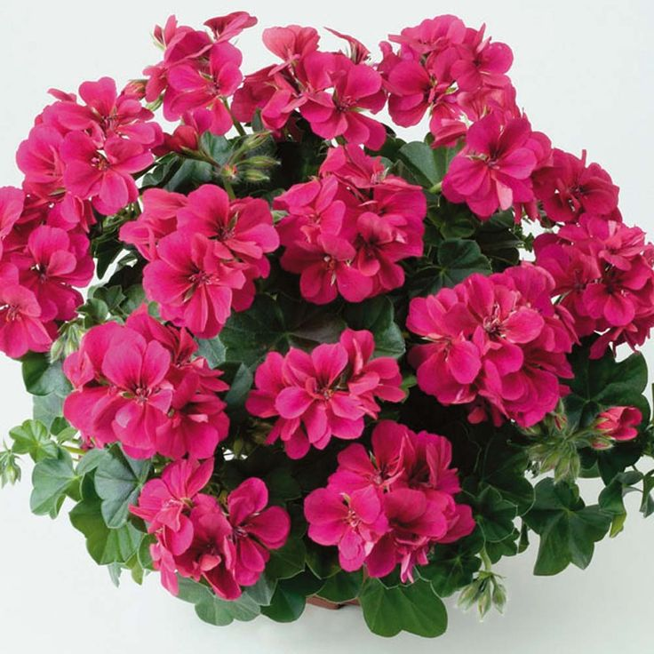 Geranium 39 aristo red velvet 39 pelargonium regal pelargonium half hardy perennial regal - How to care for ivy geranium ...