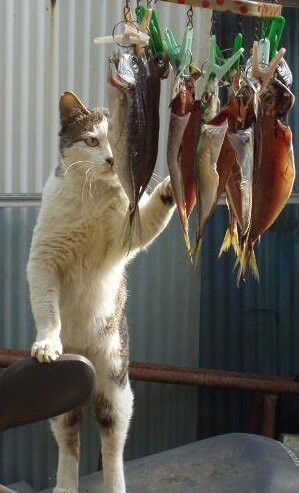 魚の干物を盗み食いしようとしているだけなのに、職人にしか見えない猫がおもしろい