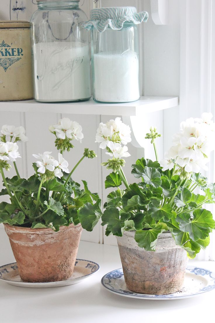White potted geraniums, fresh cottage look.