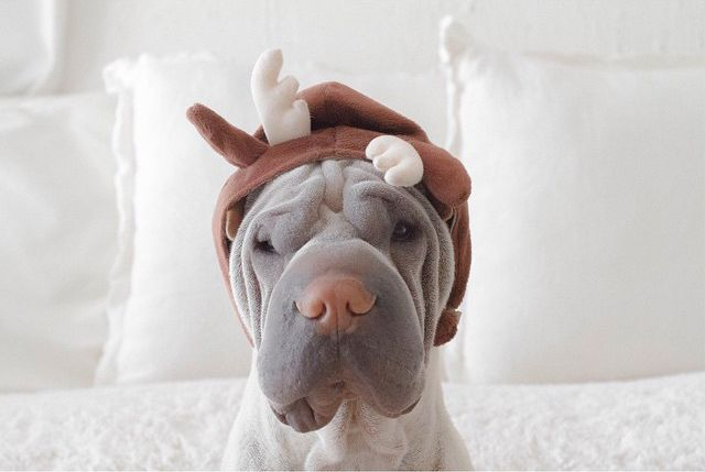 Adorably Wrinkly Shar Pei Dons Delightful Costumes with a Stoic Expression - My Modern Met