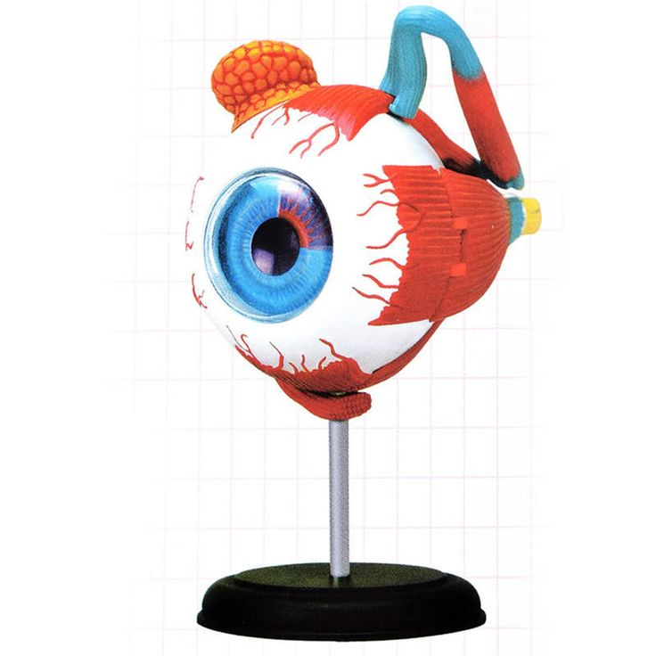 Master 4D Eye Model Human Anatomy Model New 3D Structure Of The Eye Puzzle