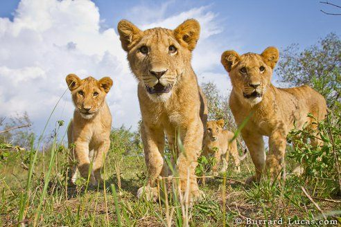so amazing! animal planet photographers get awesome close up pictures of lions with a remote controlled DSLR