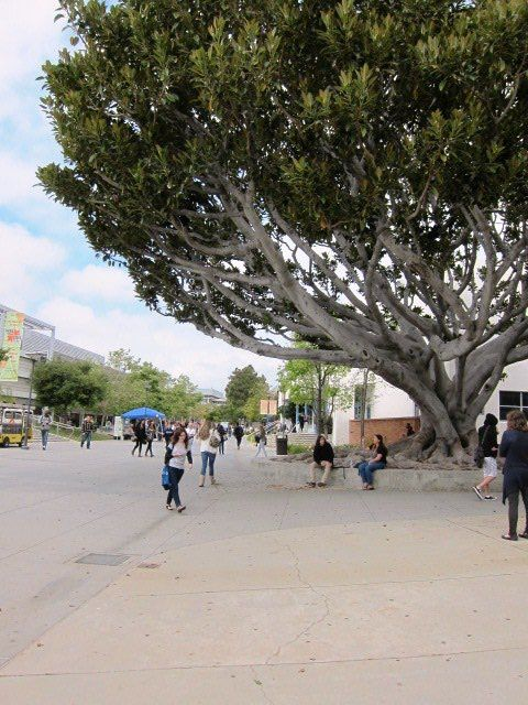 Scale: Big tree,with small people. (Took at LA Santa Monica college.)