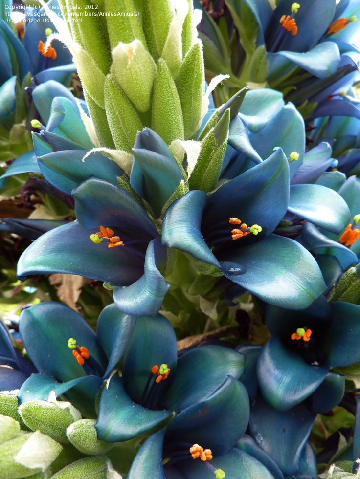 Blue Puya (Puya berteroniana): WOW! Type of plant: Perennials, Tropicals and Tender Perennials, Cactus and Succulents Bloom color: Green, Blue-Violet Bloom time of year: Late Spring/Early Summer, Mid Summer, Late Summer/Early Fall Sun requirements: Full Sun Cold hardiness: Zone 9a to Zone 11 Height: 10-12 ft. (3-3.6 m), 12-15 ft. (3.6-4.7 m) Spacing: 4-6 ft. (1.2-1.8 m)