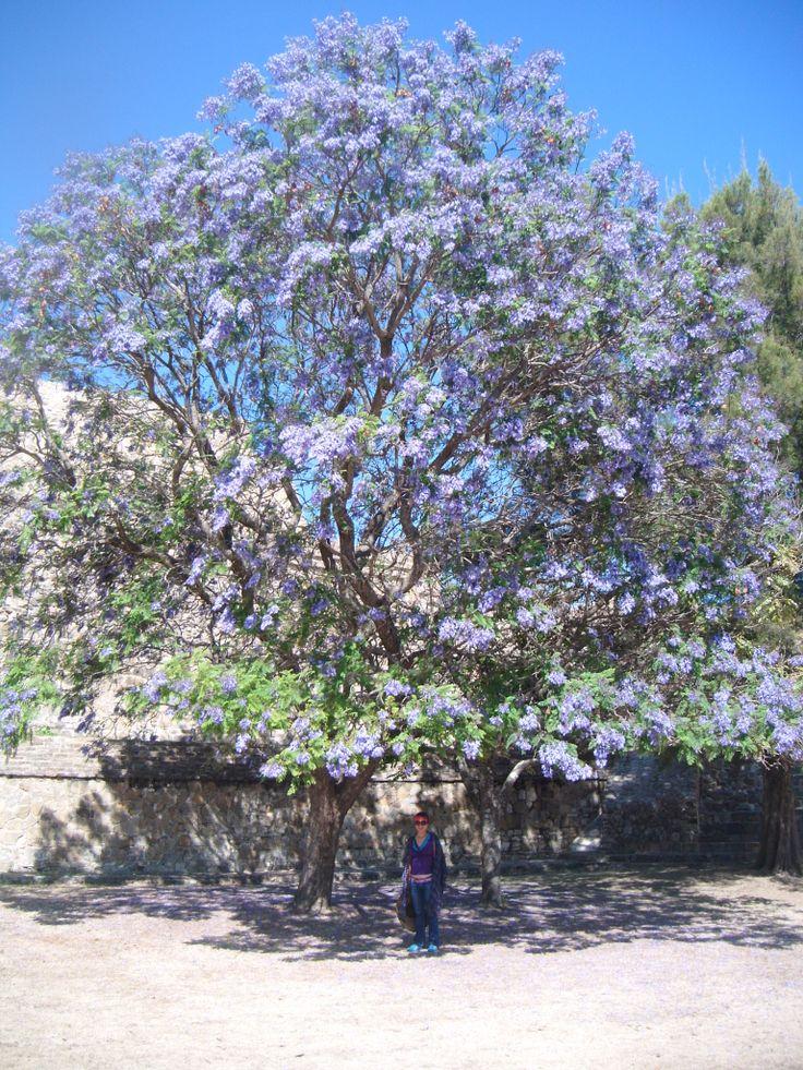 Precioso árbol en Monte Albán