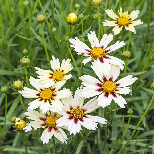 Starlight Coreopsis | Spring Hill Nurseries