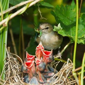 """""""The mother garden warbler (Sylvia borin) has five hungry mouths demanding attention – and food – and what big mouths too! Somehow, each gaping red mouth seems to be almost as big as the rest of the baby bird."""""""