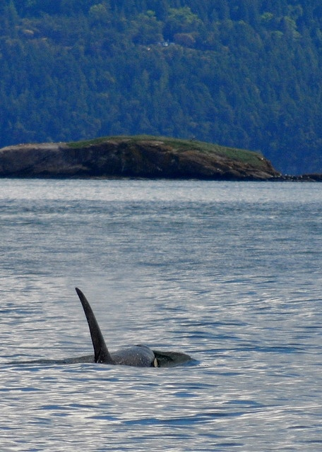 """Wild Orca near Saturna Island, B.C.  """"Off to Meet Mom""""  Mike (J26) heads off to meet up with his mom, Slick (J16) and sister, Echo (J42)."""