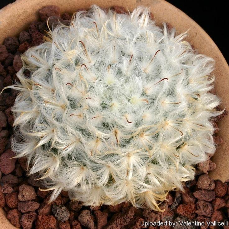 Mammillaria bocasana f. multilanata splendens