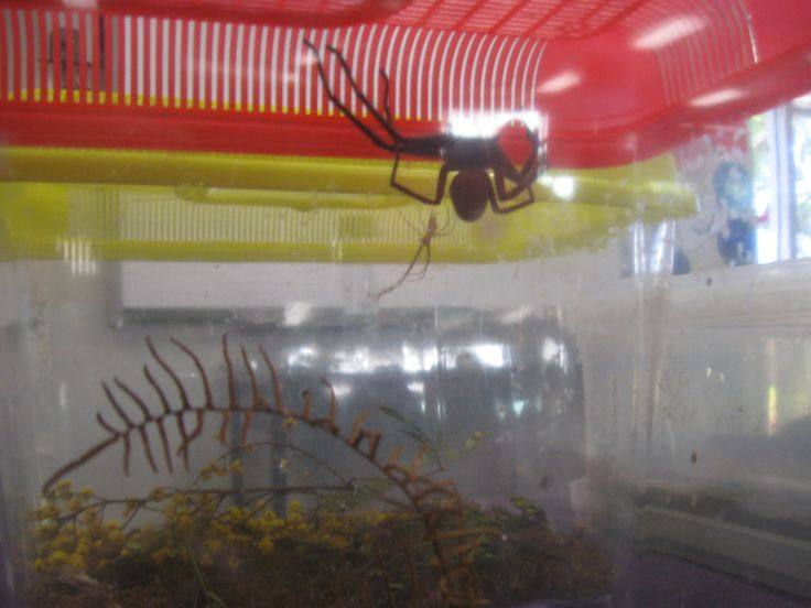 Menai Primary School Mini Beast Travel Bugs incursion.  Don't think we will hold this one!
