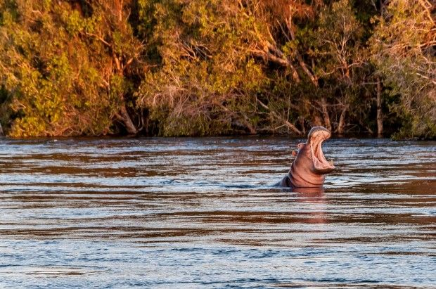 Every night at sunset, hippos relax in the Zambezi River.