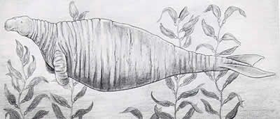 """Formerly found near the Asiatic coast of the Bering Sea, it was discovered in in 1741 by the naturalist Georg Steller, who was traveling with the explorer Vitus Bering. The sea cow grew up to 7.9 meters (25.9 ft) long and weighed up to three tons, much larger than the manatee or dugong. It looked somewhat like a large seal, but had two stout forelimbs and a whale-like tail. According to Steller, """"The animal never comes out on shore, but always lives in the water. Its skin is black and thick…"""