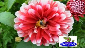 This is a high quality photo of a zinnia flower in bloom with a bee inside it. My husband and I take all our own photos. These flowers are in our yard. The image is 300 dpi, fit to 4 x 6 inches. This Zinnia flower dollar stock photo is available in my flowers bundle set 1.