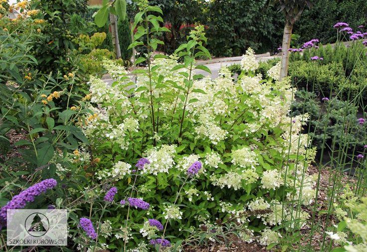 Hydrangea paniculata 'Dolly' - Hortensja bukietowa 'Dolly' - Szkółki Kurowscy
