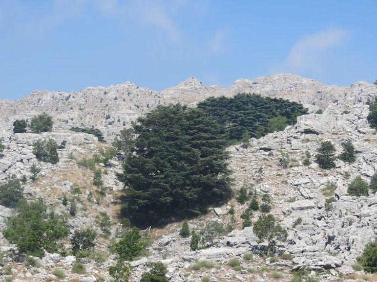 25 Best Ideas About Lebanon Cedar On Pinterest Cedar