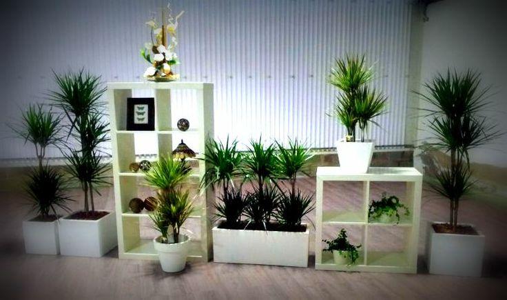 dracena marginata planta de interior que no requiere mucha agua aunque s una buena iluminaci n. Black Bedroom Furniture Sets. Home Design Ideas