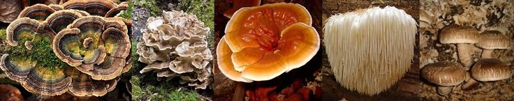 Medicinal mushrooms can be used to help treat cancer and fight infections by initiating an immune response which results in higher levels of white blood cells, cytokines, antibodies and complement proteins. Many mushrooms do have similar traits; they have species specific properties.