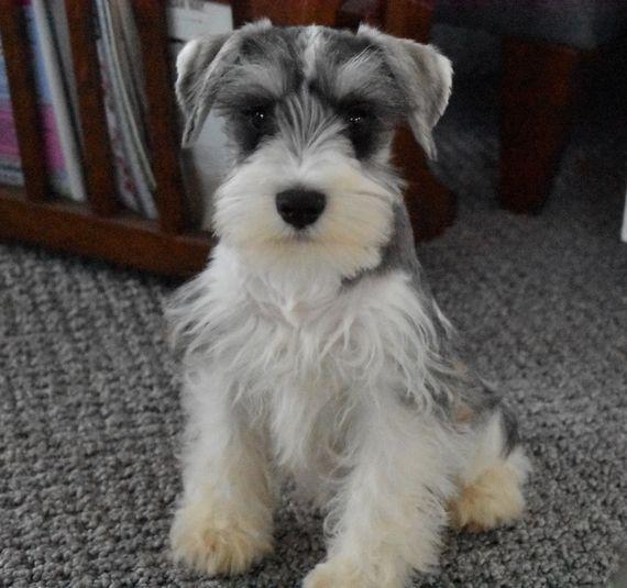 King Schnauzer Puppy Puppyspot Miniature Schnauzer Puppies Schnauzer Puppy Schnauzer