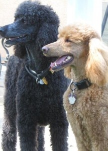 16 best dog grooming images on pinterest dog grooming dog poodle grooming solutioingenieria Gallery