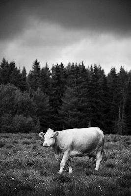 White cow on a grey field with the forest behind. Available as poster at printler.com, the marketplace for photo art. Photographer Karl-William Sandström.
