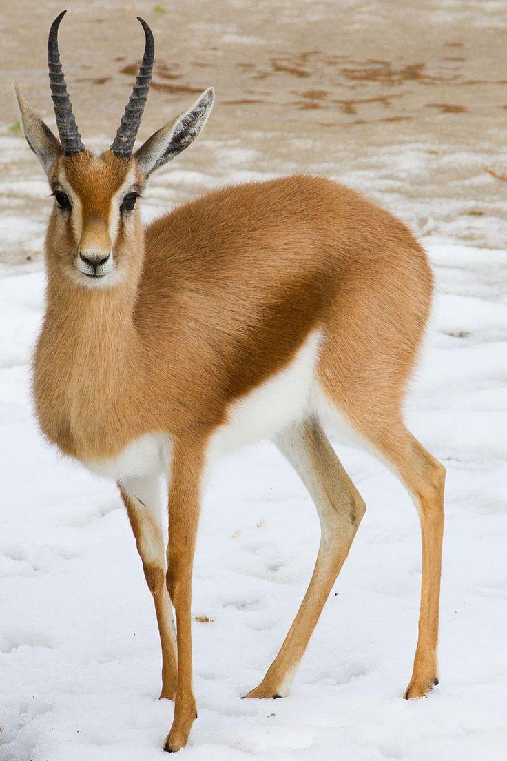 La gacela común o dorcas (Gazella dorcas) es una especie de mamífero artiodáctilo de la familia Bovidae. Esta gacela está especialmente adaptada al hábitat donde se distribuye, los desiertos del norte de África desde Egipto hasta el Sáhara Occidental.