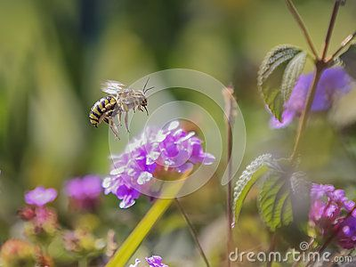 Bee Flies On A Pink Flower. - Download From Over 41 Million High Quality Stock Photos, Images, Vectors. Sign up for FREE today. Image: 66818853