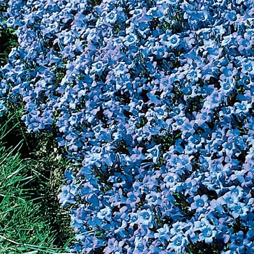 79 best images about gardening and landscaping on for Best low growing flowering perennials