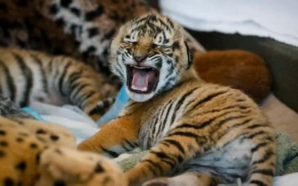 Cachorros de tigre malayo nacen en zoológico de cincinnati. Visite nuestra página y sea parte de nuestra conversación: http://www.namnewsnetwork.org/v3/spanish/index.php #nnn #bernama #malasia #malaysia #zoo #zoonegara #asia #eeuu #usa #cincinnati #cubs #cachorros #tigre #tigres #tiger #zoologico #news #noticias #america