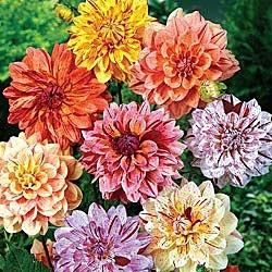 565 best Dahlia #2 images on Pinterest | Dahlias, Dahlia and Dahlia ...